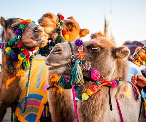 camel, animal, and summer image
