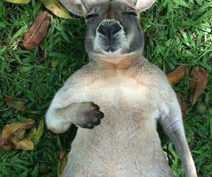 kangaroo, animal, and relax image