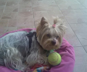 dog, yorkshire terrier, and rony image