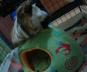 cuy, guinea pig, and king image
