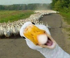 funny, duck, and animal image