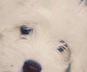 dog, cute, and maltese image