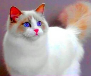 blue, eyes, and purr image