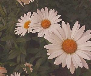 beautiful, white, and marguerite image
