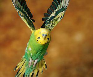 animal, bird, and budgie image