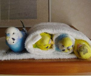 animal, bird, and budgie image