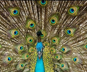 peacock, picture, and wonderful image