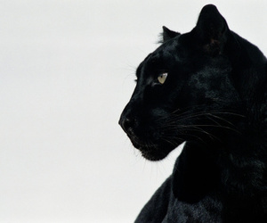 aesthetic, black, and panther image