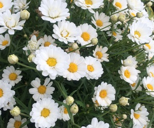flowers and daisies. image