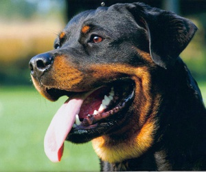 dog, rottweiler, and brown image