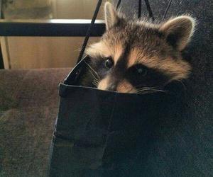 animal, raccoon, and cute image