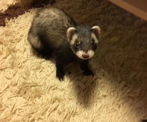 animal, curious, and ferret image