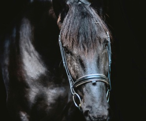 elegance, horses, and black image