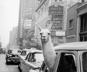llama, car, and black and white image