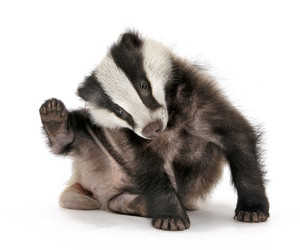 baby animals, badger, and cute animals image