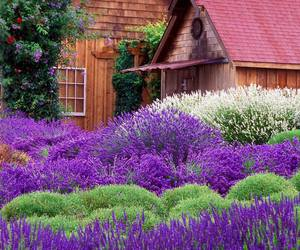 nature, flowers, and lavender image