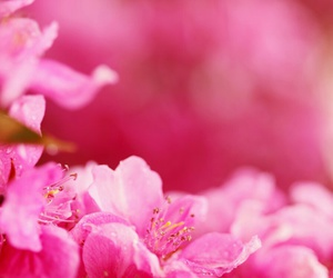 girl, flower, and pink image
