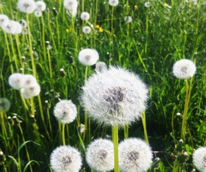 flowers, green, and dandelion image
