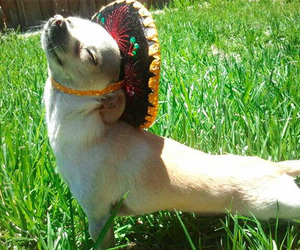 dog, sombrero, and chihuahua image
