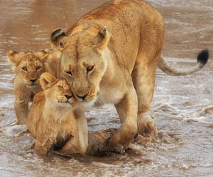 animals, lion, and lions image