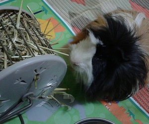 guinea pig, enano, and gordito image