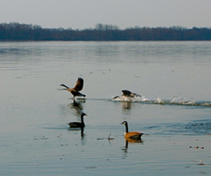 geese, morning, and river image