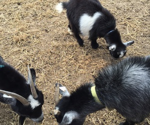 cute animal, farm, and farms image