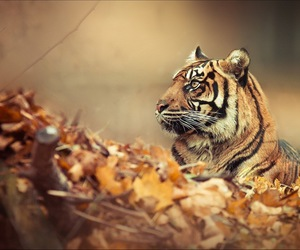 tiger, animal, and autumn image