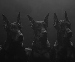 dog, doberman, and black image