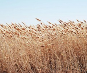 blue sky, crop, and wheat image