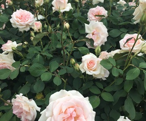 aesthetic, green, and rose image