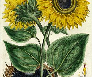 botany, vintage illustration, and vintage flowers image