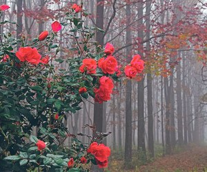 rose, flowers, and nature image