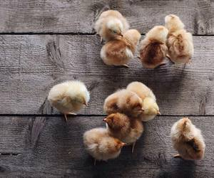 cute, animal, and Chicken image