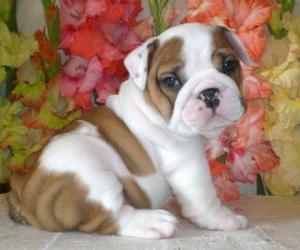 bulldog and dog image