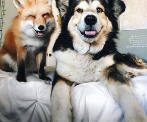 dog, animal, and fox image