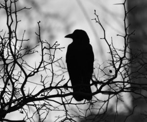 bird, black and white, and crow image
