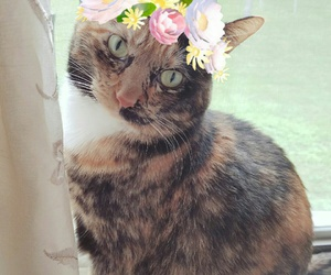 calico, cat, and flower crown image