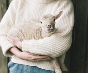 animal, white, and lamb image