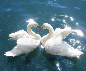 Swan, love, and heart image