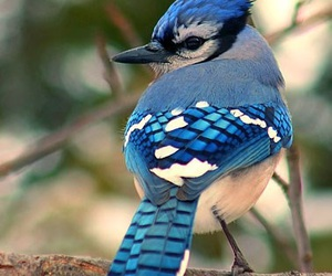 adorable, blue, and bluejay image
