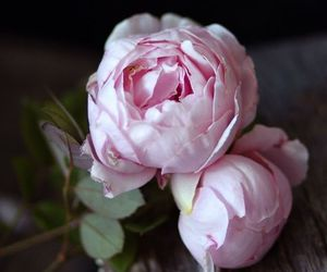 flower, pink, and peonie image