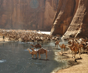 camel, animals, and water image