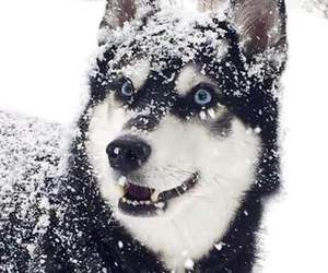 husky, snow, and animal image