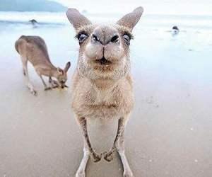 animal, kangaroo, and cute image