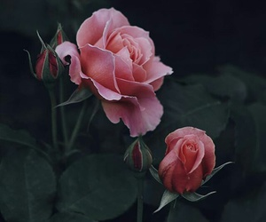 flowers, rose, and again image