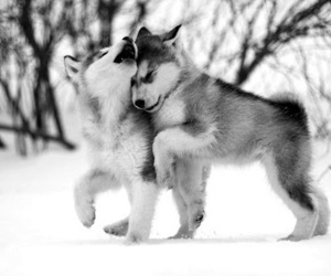 wolf, cute, and snow image