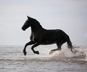 beach, black, and equine image