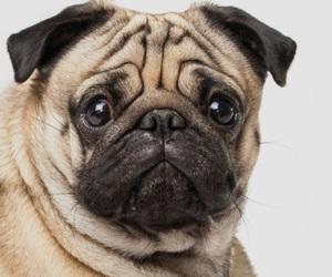 dog, lovely, and pug image