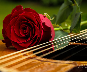 flower, love song, and red image